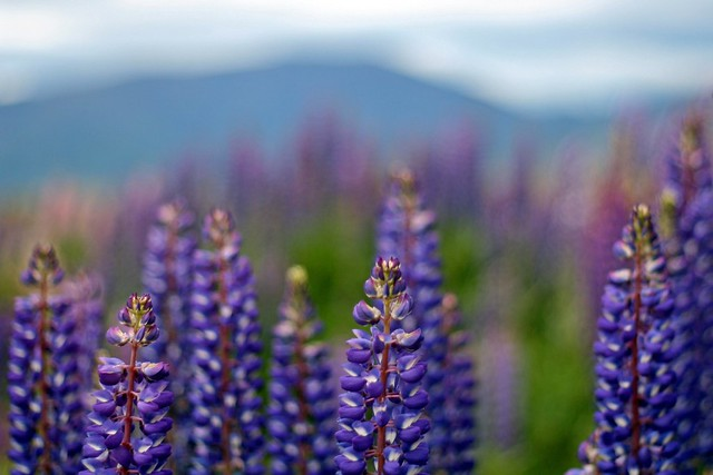 Wild lupins near Lindis Pass
