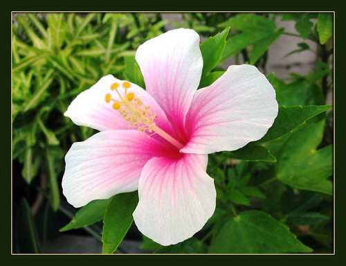 Bicolored white/pink Hibiscus rosa sinensis | This lovely ...