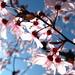 Spring #4 Prunus