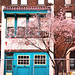 LIttle blue house with cherry blossoms
