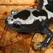 Marbled Salamander--detail of head