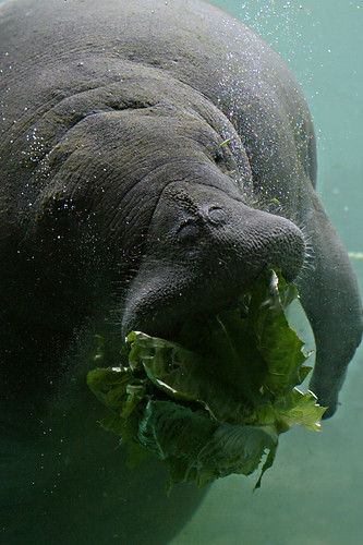 Manatee Nose | by windy234