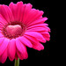 happy valentines day - pink gerbera with a heart of chocolate!