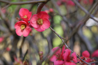 Quince flowers | by webmink