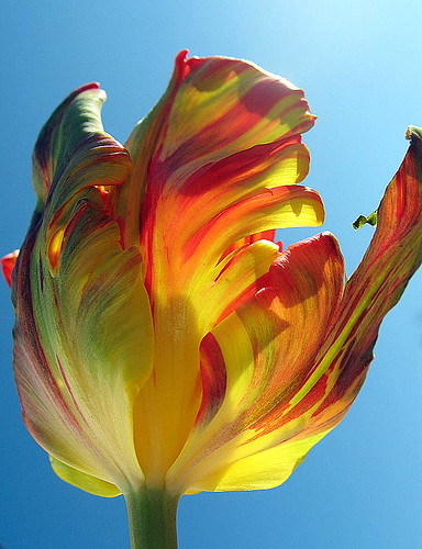 Flaming Parroté Tulip | by Tante Bluhme's