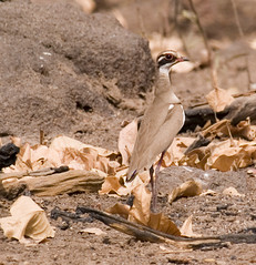 Bronze-Winged Courser (Rhinoptilus chalcopterus) | by tj.haslam
