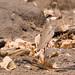 Bronze-Winged Courser (Rhinoptilus chalcopterus)