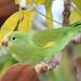 Tuim-de-Asa-Amarela - Periquito - Maritaca - Yellow-chevroned Parakeet (Brotogeris chiriri chiriri) 1 142 - 9