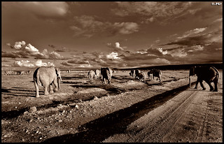Elephants heading towards the mountains | by Edgar Thissen