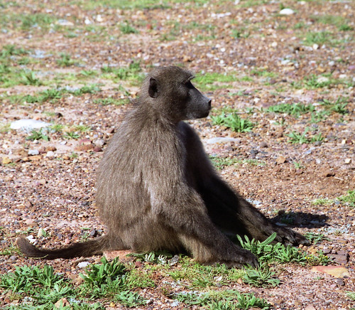 Baboon near Cape Point, South Africa | by exfordy