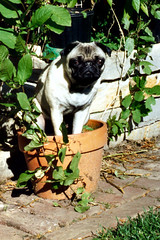 Potted Pug | by N.Holdorph