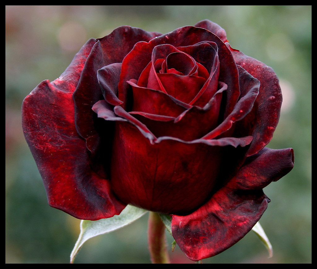 Saturday black beauty rose cant let go of this flower thi flickr saturday black beauty rose by twoblueday izmirmasajfo
