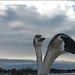 Swan [2]