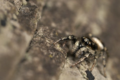 Jumping spider series #5 | by Lord V