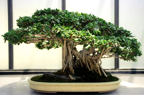 Ficus Bonsai, Washington, DC | by Grufnik