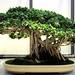 Ficus Bonsai, Washington, DC