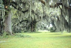 Louisiana-Spanish Moss | by lanihuli247