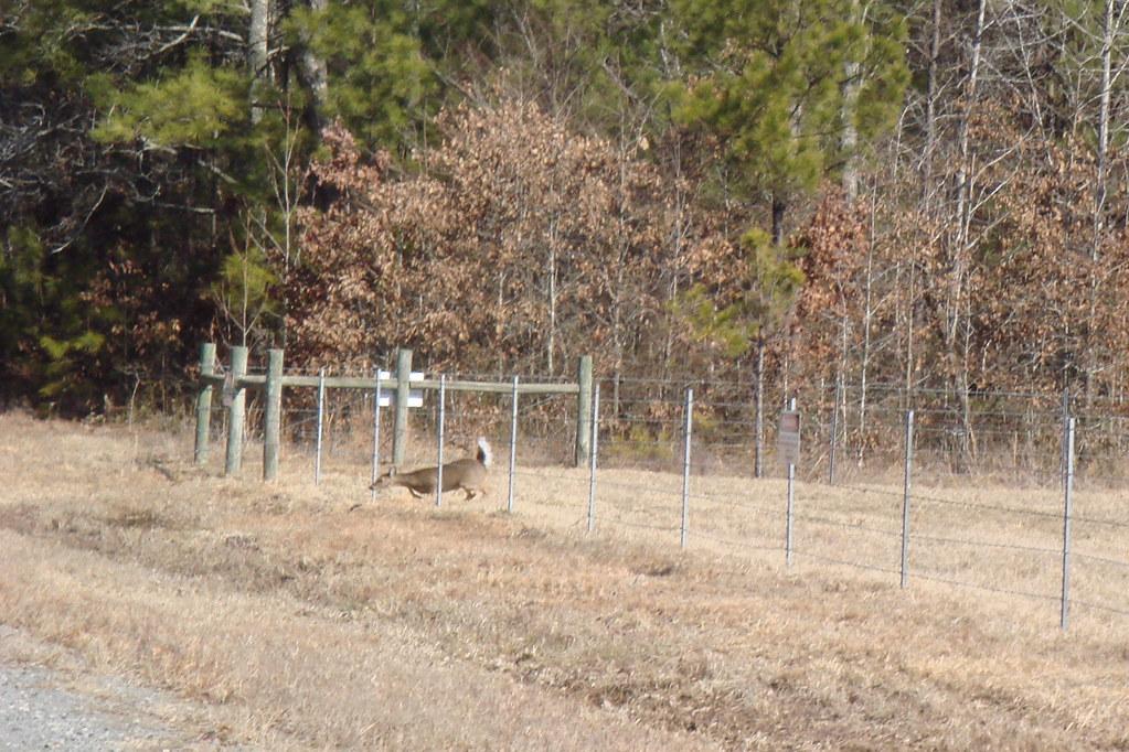 Whitetail Deer Fence Crossing I Saw A Few Deer Inside A