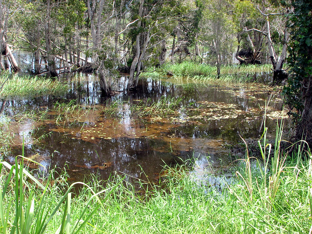 Freshwater Swamp & Reflections Daintree River North Queens… | Flickr