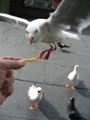 "Do seagulls like fries? also called ""Uccello mangia Patatina"" 