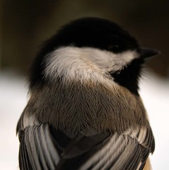 Blackcapped Chickadee Closeup | by K. Rattray
