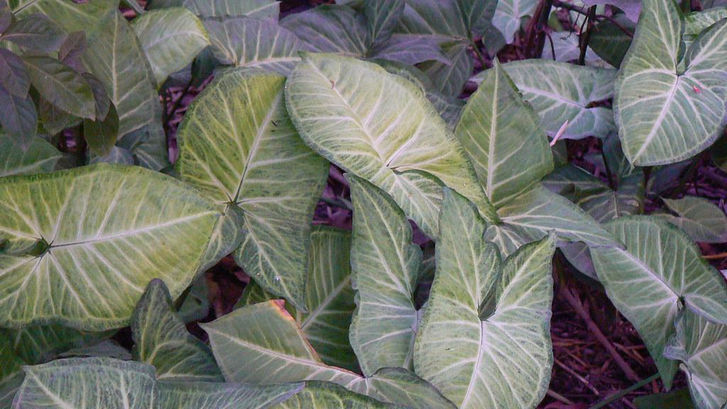Syngonium podophyllum 39 Imperial