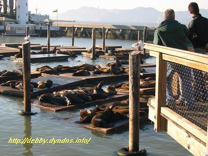 海獅群集在39號碼頭(sea lions at the fisherman's wharf pier 39) | by debbychen
