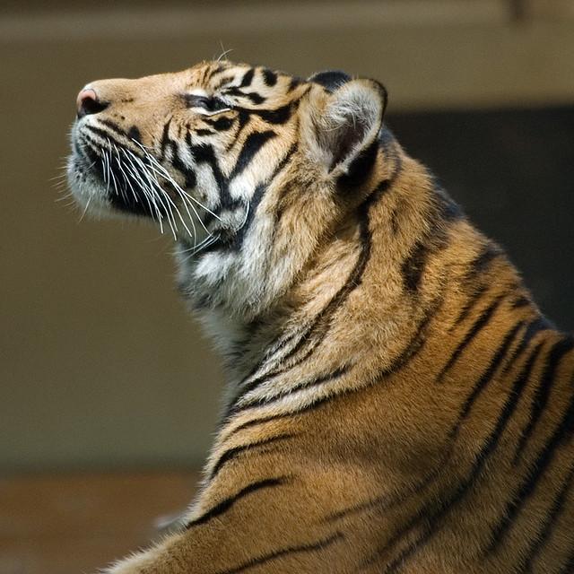 tiger profile volker wurst flickr. Black Bedroom Furniture Sets. Home Design Ideas
