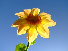 yellow flower against blue sky background | by Vanessa Pike-Russell