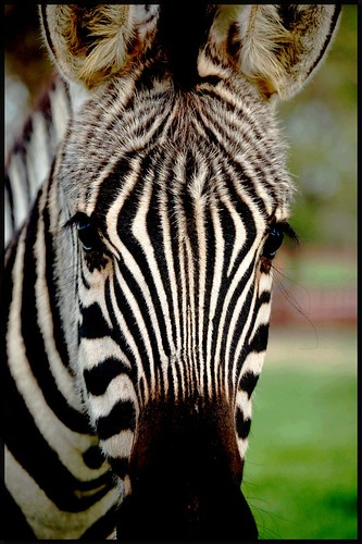 Am I black with white stripes or white with black stripes? | by Mamahoot~