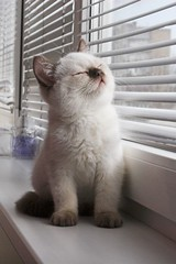 ColorPoint kitten and window | by Roman R.