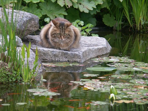 Pond reflects on cat | by sejmoat