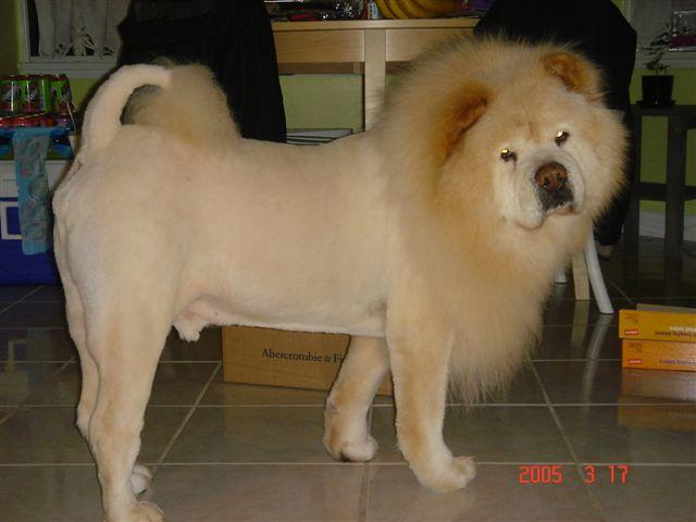 Chow Chow Lion Cut Popeye lion cut  flickr