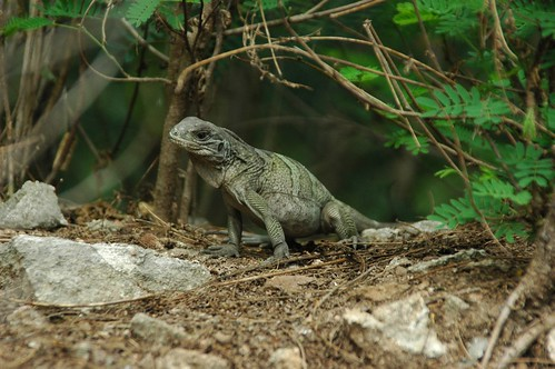 Virgin Islands Rock Iguana Baby 2 | by The Horned Jack Lizard