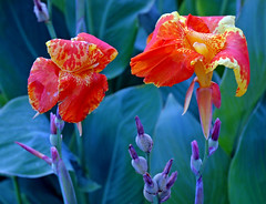 Canna Couple | by Jeff Clow
