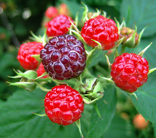 Wild Raspberries | by Bien Stephenson