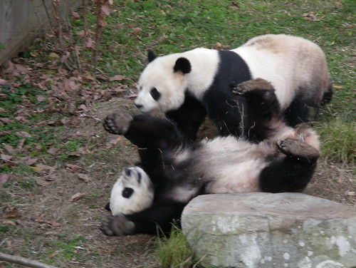 Tumbling Pandas | by alumroot