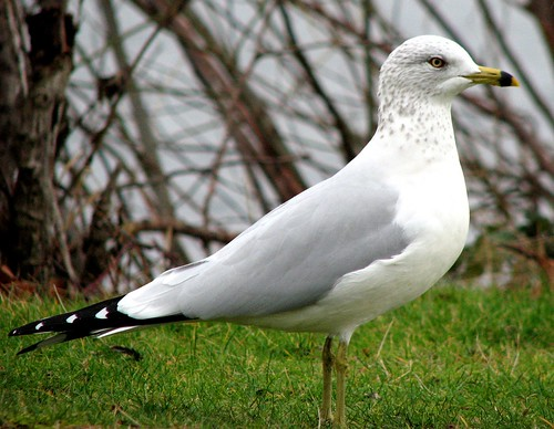 Ring-billed Gull (Larus delawarensis) | by Crappy Wildlife Photography