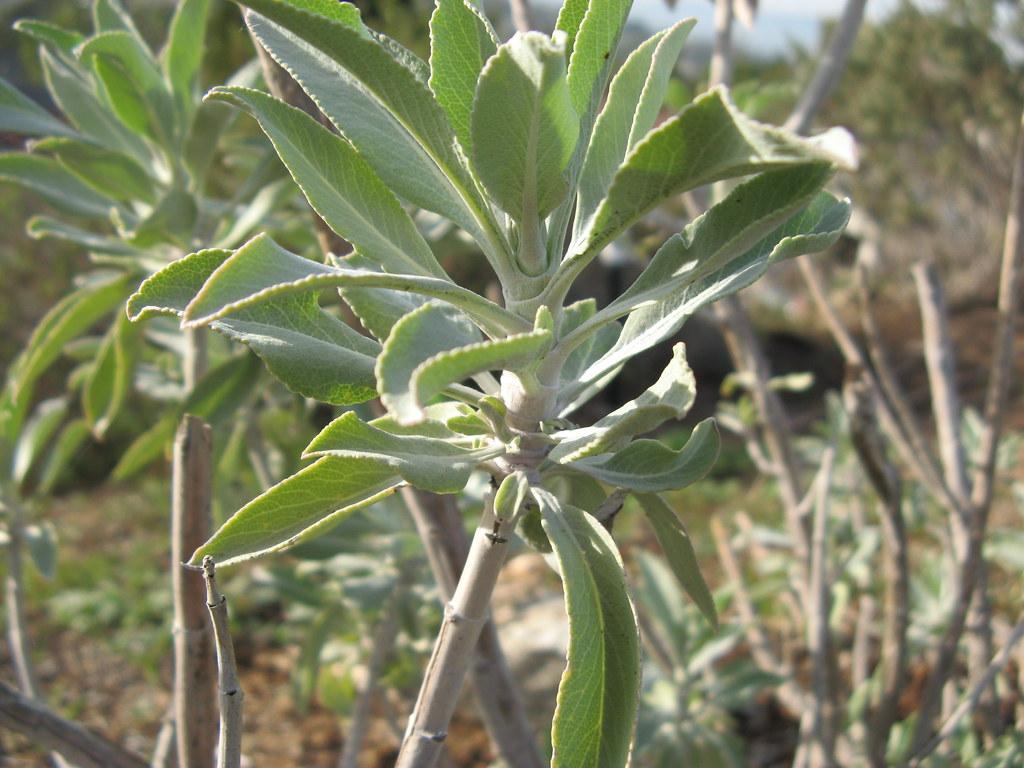 Whitesage02 White Sage Is Native To California Justin Taylor