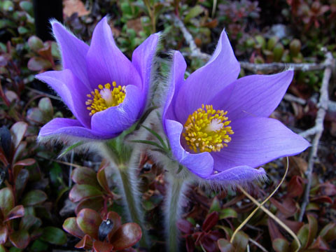 Pulsatilla Patens Pasqueflower Taken Along Bottom