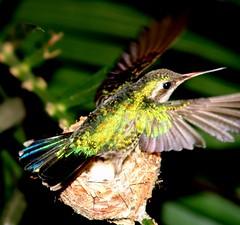 Humming Bird protecting nest by tony_s2008