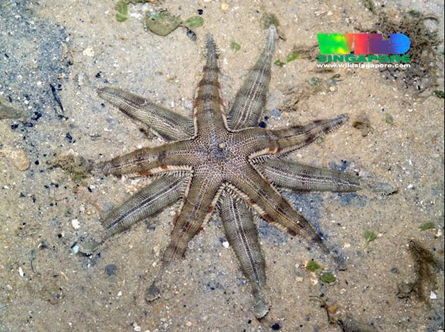 Common Sea Star Coloring Page Awnserd