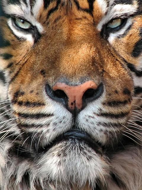 angry tiger eyes wallpaper - photo #12