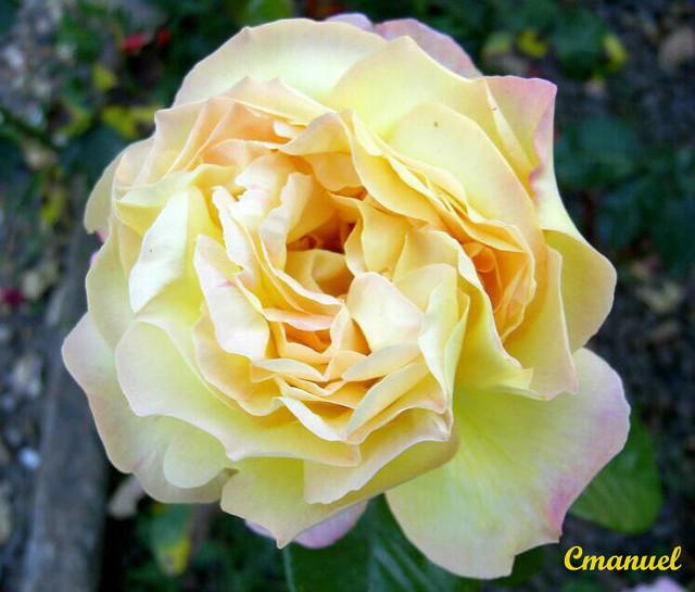 Perfume Kouros Bom Yahoo: Esta Linda Rosa Foi Fotografada No Jardim Do …