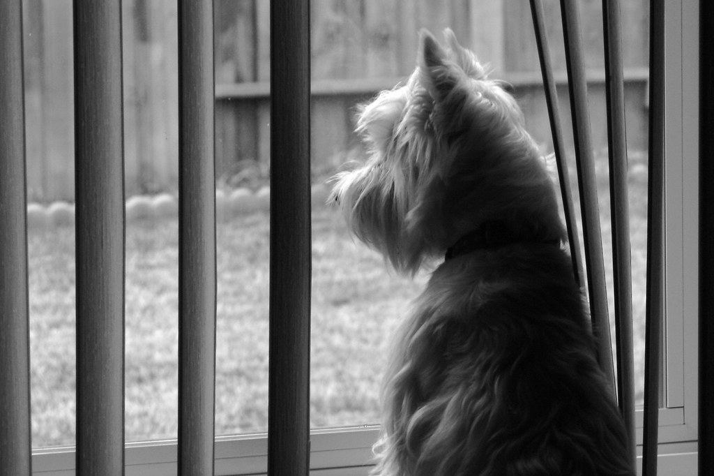 Wee Westie Longing For Squirrel Dinner Yoshi Peers Out