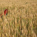 Harversting Wheat #2