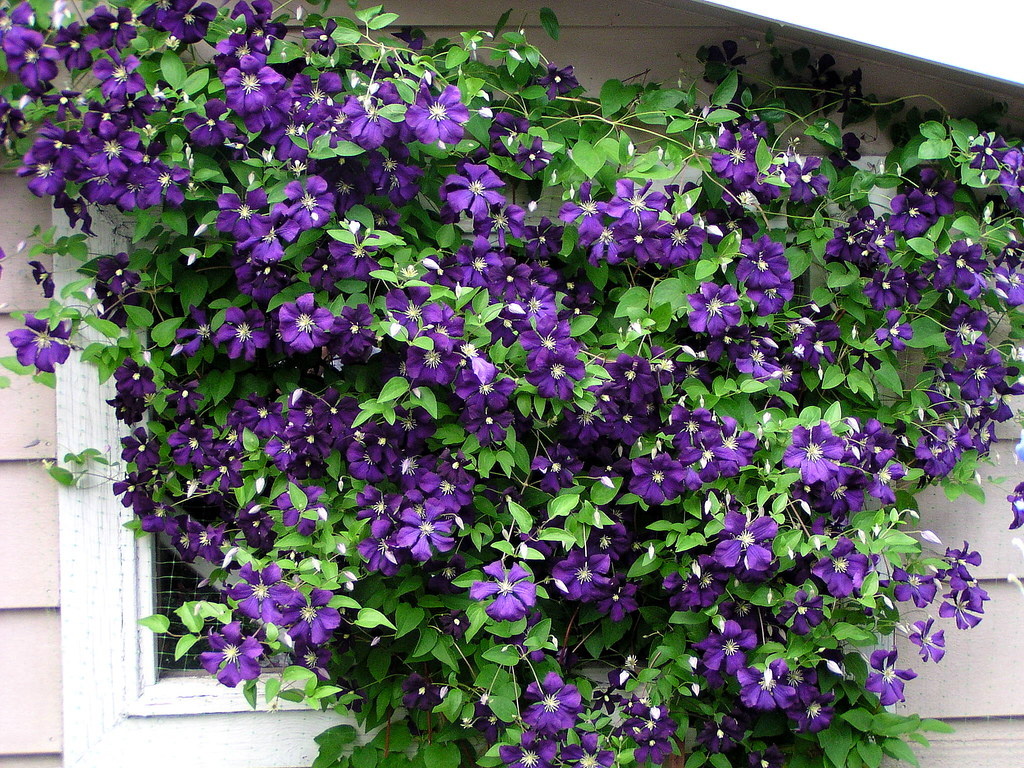clematis 39 jackmanii superba 39 this clematis is growing on t flickr. Black Bedroom Furniture Sets. Home Design Ideas
