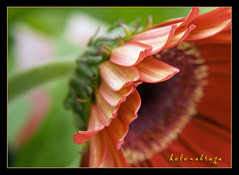 My gerberas again... | by helenabraga