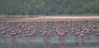 Flamingos on Lake Nakuru, Lake Nakuru National Park, Kenya | by Paul Mannix