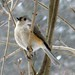 Bird - Tufted Titmouse in winter